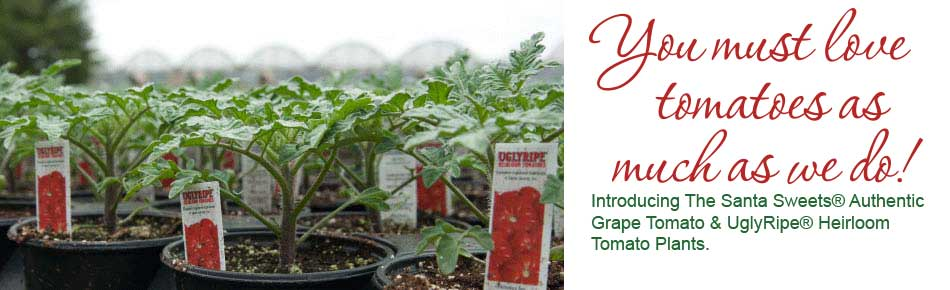 Introducing The Santa Sweets® Authentic Grape Tomato and UglyRipe® Heirloom Tomato Plants.