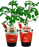 Santa Sweets Grape Tomato and UglyRipe® Tomato Plants